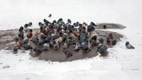 Περιστέρια bask Στοκ Φωτογραφία