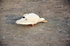 Περιστέρι - άσπρο, τρώγοντας τα τρόφιμα στο πάτωμα Στοκ εικόνες με δικαίωμα ελεύθερης χρήσης