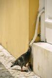 περιστέρι διψασμένο Στοκ φωτογραφία με δικαίωμα ελεύθερης χρήσης