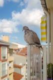 Περιστέρι-καθημερινός επισκέπτης Στοκ φωτογραφίες με δικαίωμα ελεύθερης χρήσης