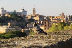 Περιστέρι και η Ρώμη Στοκ Φωτογραφίες