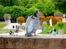 Περιστέρι και το Jardin du Λουξεμβούργο του Παρισιού στο υπόβαθρο Στοκ Εικόνα