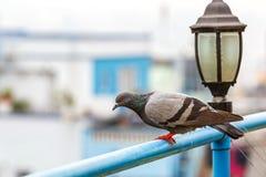 Περιστέρι και streetlamp Στοκ φωτογραφίες με δικαίωμα ελεύθερης χρήσης
