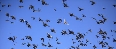 Περιστέρι κατά την πτήση ενάντια στο μπλε ουρανό Στοκ φωτογραφία με δικαίωμα ελεύθερης χρήσης