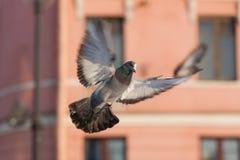 Περιστέρι κατά την πτήση Στοκ εικόνα με δικαίωμα ελεύθερης χρήσης