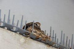 Περιστέρι μωρών στη φωλιά Στοκ φωτογραφία με δικαίωμα ελεύθερης χρήσης