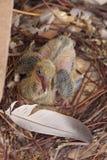 Περιστέρι μωρών χωρίς φτερά στοκ εικόνες με δικαίωμα ελεύθερης χρήσης