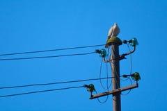 Περιστέρι πάνω από τον ηλεκτρικό πόλο Στοκ Φωτογραφία
