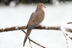 Περιστέρι πένθους στο χιόνι Στοκ Εικόνες