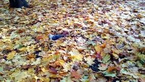 Περιστέρι που περπατά στα φύλλα φθινοπώρου απόθεμα βίντεο