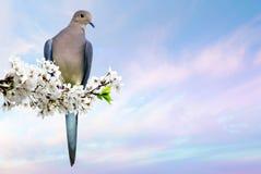 Περιστέρι που σκαρφαλώνει στον ανθίζοντας κλάδο κερασιών Στοκ Φωτογραφίες