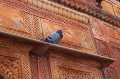 Περιστέρι που στηρίζεται την ιστορική αρχιτεκτονική Jodhpur Ινδία Στοκ Φωτογραφία