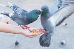 Περιστέρι που τρώει από το χέρι γυναικών στο πάρκο, ταΐζοντας περιστέρια στο πάρκο Στοκ φωτογραφία με δικαίωμα ελεύθερης χρήσης
