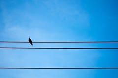 Περιστέρι σκιαγραφιών στο ηλεκτρικό καλώδιο Στοκ εικόνες με δικαίωμα ελεύθερης χρήσης