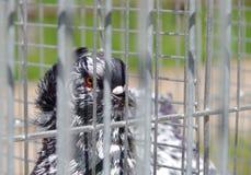 Περιστέρι στην αιχμαλωσία σε ένα κλουβί Στοκ Φωτογραφίες