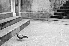 Περιστέρι στην οδό Στοκ Εικόνα