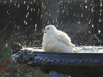 Περιστέρι στην πηγή που έχει το λουτρό πουλιών Στοκ Φωτογραφίες