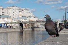 Περιστέρι στην όχθη ποταμού Στοκ εικόνα με δικαίωμα ελεύθερης χρήσης