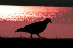 Περιστέρι στη σκιά Στοκ εικόνες με δικαίωμα ελεύθερης χρήσης