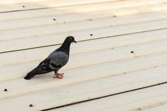 Περιστέρι στη στέγη γκαράζ στοκ φωτογραφίες με δικαίωμα ελεύθερης χρήσης
