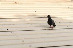 Περιστέρι στη στέγη γκαράζ στοκ φωτογραφία με δικαίωμα ελεύθερης χρήσης