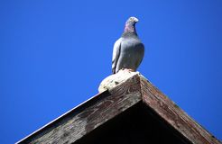Περιστέρι στη στέγη Στοκ εικόνες με δικαίωμα ελεύθερης χρήσης