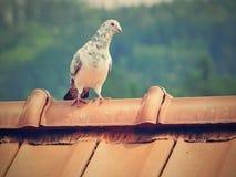 Περιστέρι στη στέγη Στοκ Φωτογραφία