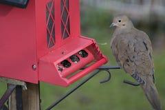 Περιστέρι στον κόκκινο τροφοδότη πουλιών στοκ εικόνες