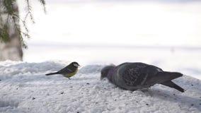 Περιστέρι στο χιόνι το χειμώνα απόθεμα βίντεο