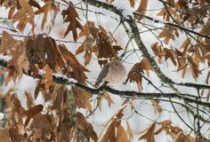 Περιστέρι στο χιόνι (2) Στοκ Φωτογραφίες