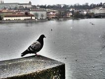 Περιστέρι της Πράγας στοκ φωτογραφίες με δικαίωμα ελεύθερης χρήσης