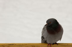 Περιστέρι το χειμώνα Στοκ εικόνα με δικαίωμα ελεύθερης χρήσης