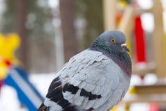 Περιστέρι το χειμώνα Στοκ εικόνες με δικαίωμα ελεύθερης χρήσης