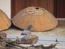 Περιστέρι των περιστεριών ή αγριοπερίστερων ή βράχου ή πουλί columba livia στην Ινδία Στοκ Εικόνες