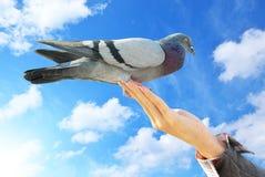περιστέρι χεριών στοκ φωτογραφία με δικαίωμα ελεύθερης χρήσης