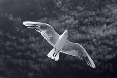 περιστέρι Στοκ εικόνες με δικαίωμα ελεύθερης χρήσης