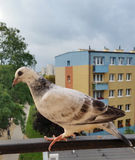 περιστέρι 2 Στοκ εικόνα με δικαίωμα ελεύθερης χρήσης