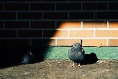 Περιστέρι Στοκ φωτογραφία με δικαίωμα ελεύθερης χρήσης