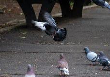 Περιστέρι Landind στο πάρκο στοκ εικόνες με δικαίωμα ελεύθερης χρήσης