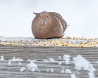 Περιστέρι Mouning σκαρφαλωμένο Στοκ Εικόνα