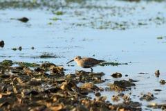 Περιστρεφόμενο πουλί βροχοπουλιών Στοκ Εικόνες