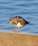 Περιστρεφόμενο πουλί turnstone στοκ εικόνες με δικαίωμα ελεύθερης χρήσης