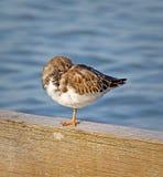 Περιστρεφόμενο πουλί turnstone στοκ φωτογραφία με δικαίωμα ελεύθερης χρήσης