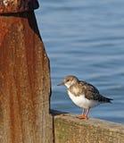 Περιστρεφόμενο πουλί turnstone στοκ εικόνα