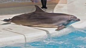 Περιστροφή δελφινιών σε μια θέση απόθεμα βίντεο