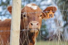 Περιφραγμένος στη γαλακτοκομική αγελάδα Στοκ φωτογραφία με δικαίωμα ελεύθερης χρήσης