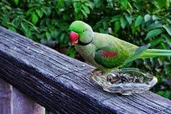 περιλαίμιο parakeet Στοκ φωτογραφία με δικαίωμα ελεύθερης χρήσης