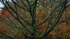 Περνώντας το γυμνό δέντρο το φθινόπωρο απόθεμα βίντεο