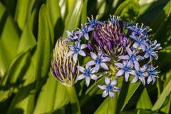 Περουβιανά λουλούδια scilla Στοκ Εικόνα