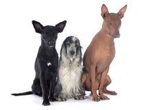 Περουβιανό κόκερ ANC σκυλιών Στοκ Φωτογραφία
